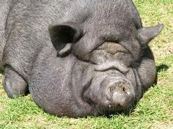 Fat Hog