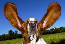 Dog_with_huge_ears