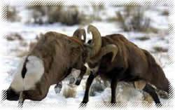 Bighorn_250