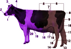 Purplebrowncow